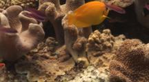 Lemonpeel Angelfish, Centropyge Flavissima, On Coral Reef
