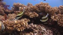 Pair Of Pennant Bannerfish (Threeband Pennantfish), Heniochus Chrysostomus, On Hard Coral Reef
