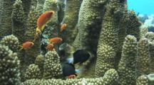 Lyretail Anthias, Pseudanthias Squamipinnis, And Reticulated Dascyllus, Dascyllus Reticulatus, Hiding Amongst Column Staghorn Coral, Acropora Palifera