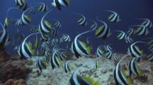 Huge School Of Schooling Bannerfish, Heniochus Diphreutes, Swims Back And Forth