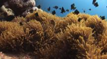 Pacific Anemonefish, Amphiprion Pacificus, And Domino Damsels (Threespot Dascyllus), Dascyllus Trimaculatus, In Magnificent Sea Anemone