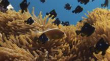 Pacific Anemonefish, Amphiprion Pacificus, And Domino Damsels (Threespot Dascyllus), Dascyllus Trimaculatus, In Magnificent Sea Anemone