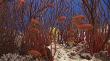 Lyretail Anthias, Pseudanthias Squamipinnis, Amongst Gorgonian Sea Whips