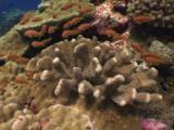 Lyretail Anthias (Sea Goldie), Pseudanthias Squamipinnis, Schooling Around Caulliflower Coral, Pocillopora Sp.