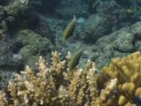 Harlequin Filefish, Oxymonacanthus Longirostris, And Cloudy Damsels Compete In Hard Coral