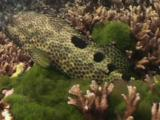 Foursaddle Grouper, Epinephelus Spilotoceps, Flees