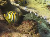 Pair Of Regal Angelfish (Royal Angelfish), Pygoplites Diacanthus, With Table Corals