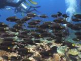 School Of Striped Large-Eye Bream, Gnathodentex Aureolineatus, With Scuba Divers