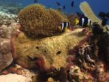 Clark's Anemonefish, Amphiprion Clarkii, And Domino Damsels (Threespot Dascyllus), Dascyllus Trimaculatus, Compete Over Sea Anemones