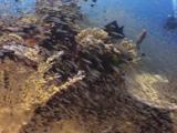 Semicircle Angelfish (Koran Angelfish), Pomacanthus Semicirculatus, Swims Over Beautiful Coral Reef With Schooling Cardinalfish