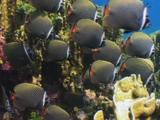 School Of Redtail Butterflyfish, Chaetodon Collare, With Blue Coral, Heliopora Coerulea