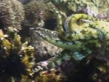 Pharaoh Cuttlefish, Sepia Pharaonis, Flees When Bitten By Bluestreak Cleaner Wrasse, Labroides Dimidiatus, Or False Cleanerfish, Aspidontus Taeniatus