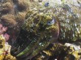 Pharaoh Cuttlefish, Sepia Pharaonis, Bitten By Bluestreak Cleaner Wrasse, Labroides Dimidiatus, Or False Cleanerfish, Aspidontus Taeniatus