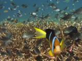 Aggressive Clark's Anemonefish, Amphiprion Clarkii, Swims Through School Of Ternate Chromis, Chromis Ternatensis, Over Staghorn Coral