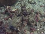 Camouflaged Oriental Flying Gurnard, Dactyloptena Orientalis, Swims Over Sea Bed. Rear View.