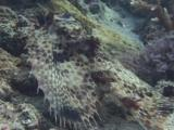 Camouflaged Oriental Flying Gurnard, Dactyloptena Orientalis, Turns And Swims Over Sea Bed.