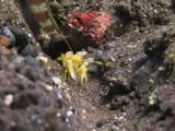 Yellow Snapping Shrimp, Alpheus Sp., Digs Sand Burrow While Periophthalma Prawn-Goby, Amblyeleotris Periophthalma, Guards