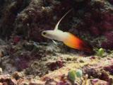 Firefish (Fire Goby), Nemateleotris Magnifica, Dives Into Burrow