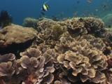Red And Black Anemonefish (Cinnamon Clownfish), Amphiprion Melanopus, In Sea Anemone Amongst Cabbage Coral