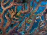 Tiger Egg Cowries, Cuspivolva Tigris, On Gorgonian Sea Fan