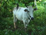 White Cow (Zebu, Bos Indicus) At Bunaken Island