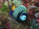 Emperor Angelfish, Pomacanthus Imperator, Feeding On Coral Reef