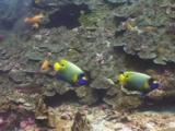 Pair Of Blueface Angelfish, Pomacanthus Xanthometopon, Swim Along Coral Reef