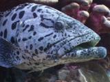 Bicolor Cleaner Wrasse, Labroides Bicolor, And Bluestreak Cleaner Wrasse, Labroides Dimidiatus, Clean Potato Cod (Potato Grouper), Epinephelus Tukula