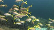 Scuba Diver Approaches School Of Yellowfin Goatfish, Mulloidichthys Vanicolensis