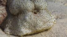 Amberfish Sea Cucumber, Thelenota Anax, Breathing Through Anus