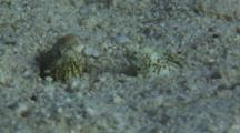 Pair Of Marbled Snake Eels, Callechelys Marmorata, In Sand Burrows