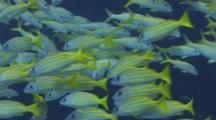Schools Of Yellowstripe Goatfish, Mulloidichthys Flavolineatus, And Bluestripe Snapper, Lutjanus Kasmira