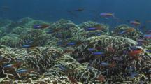 Blue Coral, Heliopora Coerulea, With Dark-Banded Fusiliers, Pterocaesio Tile