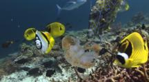Fish Feeding On Versuriga Anadyomene Jellyfish