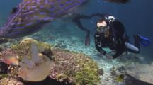 Scuba Diver Imitates Scrawled Filefish, Aluterus Scriptus, Feeding On Versuriga Anadyomene Jellyfish