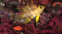 Golden Damsel, Amblyglyphidodon Aureus, Hiding In Gorgonian Sea Fan