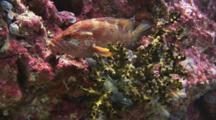 Coral Grouper, Cephalopholis Miniata, And Greyface Moray, Gymnothorax Thyrsoideus, Resting In Black Sun Coral, Tubastrea Micrantha