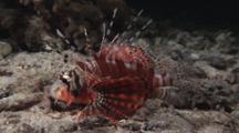 Zebra Lionfish, Dendrochirus Zebra, Resting At Night