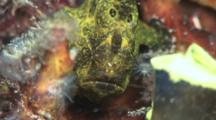 Green And Yellow Giant Frogfish, Antennarius Commerson