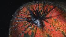 Juvenile Red Lionfish (Common Lionfish), Pterois Volitans, On Sunken Oil Drum