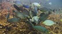 Streaked Spinefoot (Java Rabbitfish), Siganus Javus, Eating Rhizostome Jellyfish, Crambione Mastigophora, On Staghorn Coral Reef