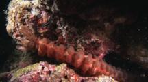 Conspicuous Sea Cucumber, Opheodesoma Spectabilis, At Night