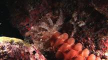 Conspicuous Sea Cucumber, Opheodesoma Spectabilis. Tentacles Feeding Mouth