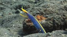 Ribbon Eel (Male), Rhinomuraena Quaesita, In Burrow In Volcanic Sand