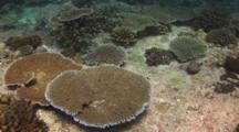 Solid Table Corals, Acropora Clathrata, And Other Hard Corals On Granite Rock