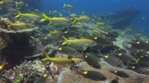 School Of Striped Large-Eye Bream, Gnathodentex Aureolineatus, And Yellowfin Goatfish, Mulloidichthys Vanicolensis