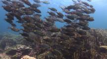 School Of Striped Large-Eye Breams, Gnathodentex Aureolineatus, Over Blue Coral, Heliopora Coerulea