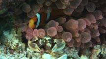 Porcelain Anemone Crab, Neopetrolisthes Maculatus, And Juvenile Clark's Anemonefish, Amphiprion Clarkii, In Pink Bubble-Tip Anemone, Entacmaea Quadricolor