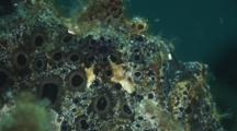 Side View Of Painted Frogfish, Antennarius Pictus, Camouflaged On Coral