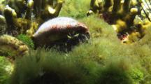 Hairy Red Hermit Crab, Dardanus Lagopodes, In Turtle Weed, Chlorodesmis Fastigiata